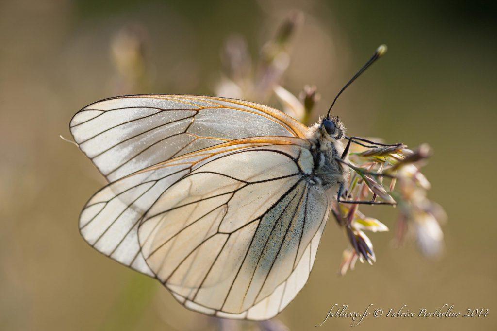Papillon - La Macro avec ©FablaCox