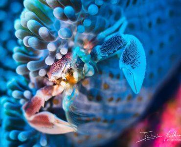 Crabe porcelaine et son anémone